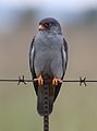Amur falcon, Falco amurensis, male, R42, Gauteng, South Africa (32928502455).jpg