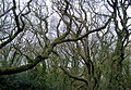 An eccentric tangle of trees at Cooden Moat, Bexhill - geograph.org.uk - 1176154.jpg