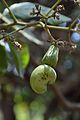 Anacardium occidentale - Digha - East Midnapore 2015-05-03 9997.JPG
