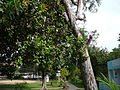 Anacardium occidentale 0005.jpg
