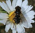 Anasimyia lineata - Flickr - S. Rae (2).jpg