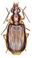 Anchista nubila - ZooKeys-284-001-g002-08.jpeg