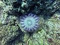 Anemone (26842996070).jpg