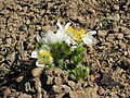 Anemone occidentalis – white pasqueflower.jpg