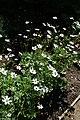 Anemone rivularis kz04.jpg