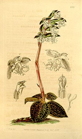 List of Orchidaceae genera  Wikipedia