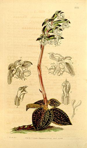 Anoectochilus - Image: Anoectochilus setaceus