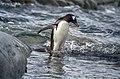 Antarctic, gentoo penguin (js) 16.jpg