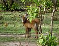 Antelopes at Mole National Park.jpg