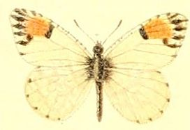 Anthocharis cethura.JPG