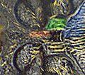 Anthrenocerus australis detail2.jpg