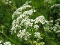 Anthriscus sylvestris.jpeg