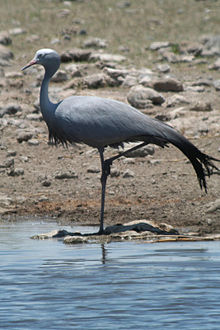 Anthropoides paradiseus -Etosha National Park, Namibia-8.jpg