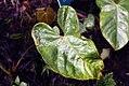 Anthurium andreanum 2zz.jpg