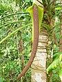 Anthurium palmatum (Spadice).jpg