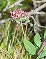 Anthyllis vulneraria ssp. rubriflora in Lozere (2).jpg
