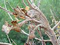 Antler-shaped fasciations gall on Poison Oak (2059973777).jpg