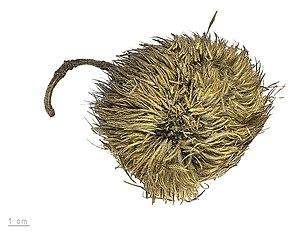 Apeiba tibourbou - Fruit of Apeiba tibourbou