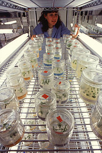Micropropagation of transgenic plants