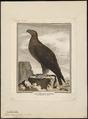 Aquila chrysaëtos - 1700-1880 - Print - Iconographia Zoologica - Special Collections University of Amsterdam - UBA01 IZ18100177.tif