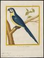 Ara ararauna - 1700-1880 - Print - Iconographia Zoologica - Special Collections University of Amsterdam - UBA01 IZ18500091.tif