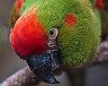 Ara rubrogenys -Tulsa Zoo, Oklahoma, USA -head-8a.jpg