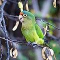 Aratinga canicularis -Costa Rica-8-2c.JPG