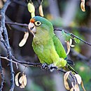 A green parrot with a light-green underside, pale-yellow eye-spots, and a blue-and-red forehead