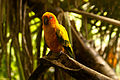 Aratinga solstitialis -Rainforestation Nature Park, Kuranda, North Queensland, Australia-8a (1).jpg
