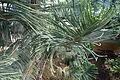 Araucaria scopulorum (Jardin des Plantes Paris).JPG
