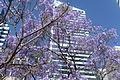 Arbre de glycines devant un building à Sydney.jpg