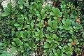 Arctostaphylos alpinus 2000-07-24 Karelia RU 2.jpg