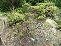 Arctostaphylos bakeri ssp. bakeri - University of California Botanical Garden - DSC09037.JPG