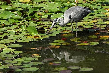 Grey Heron taken at Keitakuen.