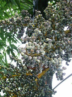 Trachycarpus fortunei - Fruit, Zhejiang