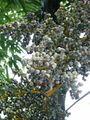 Arecaceae-zhejiang2005-1.JPG