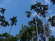 Areca Nut Tree or Tamul Goss; the nut is an important element of cultural symbolism