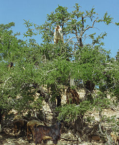 Arganiatrees and goats(js)5.jpg