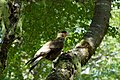 Argentina - Bariloche trekking 027 - bird sighting (6797450403).jpg