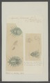 Argulus foliaceus - - Print - Iconographia Zoologica - Special Collections University of Amsterdam - UBAINV0274 100 03 0004.tif
