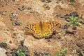 Argynnis hybrida 05.jpg