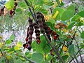Arizona Coralbean - Flickr - treegrow.jpg