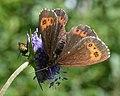Arran Brown (Erebia ligea) - Oslo, Norway 2020-08-04 (01).jpg