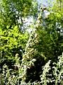 Artemisia absinthium NoviPazar2.JPG