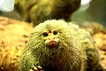 Artis Pygmy marmoset - eye to eye (5528499015).jpg