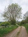 Ash tree just in leaf, Bierton - geograph.org.uk - 428350.jpg