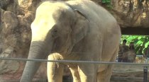 படிமம்:Asian-elephant-ueno2009-video.ogv