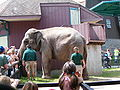 Asian Elephant at Zoo.jpg