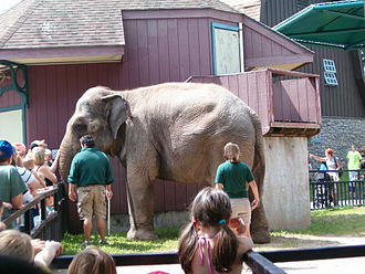 Rosamond Gifford Zoo - Zookeepers bringing an Asian elephant to the fence