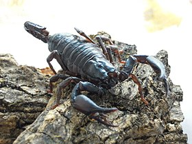 Asian Forest Scorpion Juvenile.JPG